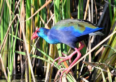 shackletons tiger fish fishing lodges upper zambezi zambia african purple swamphen