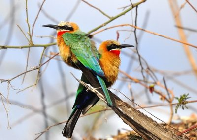 shackletons tiger fish fishing lodges upper zambezi zambia white fronted bee eater